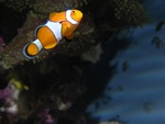 Amphiprion percula foto