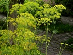Dill (Anethum graveolens) foto