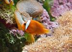 Amphiprion frenatus foto