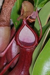 Nepenthes x foto