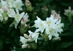 Rhododendron (Cunninghams white) foto