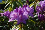 Rhododendron catawbiense foto