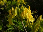 Rhododendron luteum foto