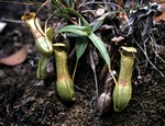 Nepenthes gracilis foto