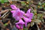Lapprose (Rhododendron lapponicum) foto