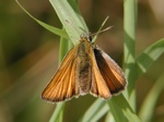 Timoteismyger (Thymelicus lineola) foto