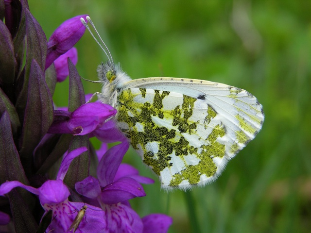 Aurorasommerfugl (Anthocharis cardamines)