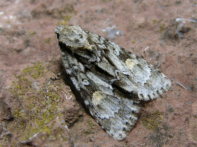 Acronicta strigosa