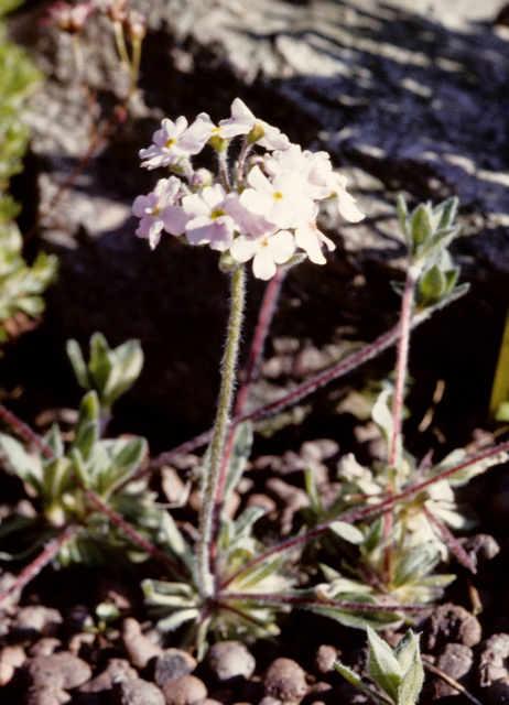 Androsace sarmentosa (Primuloides) foto