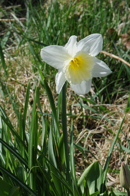 Narcissus (ICE FOLLIES)