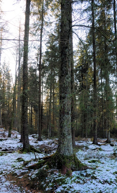 Spruce forest foto