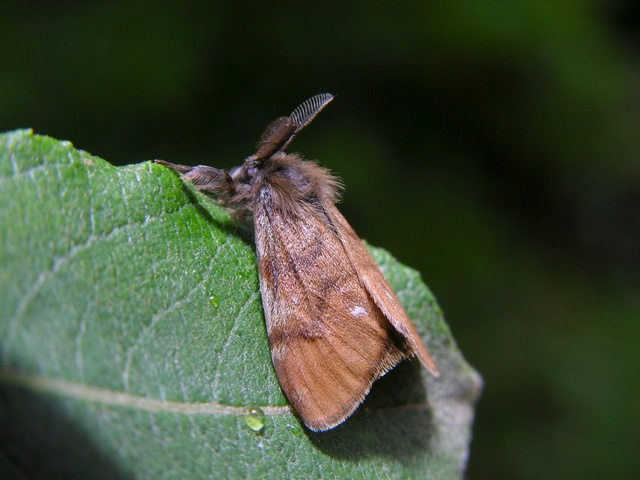 Lyngbørstespinner (Orgyia antiquoides) foto