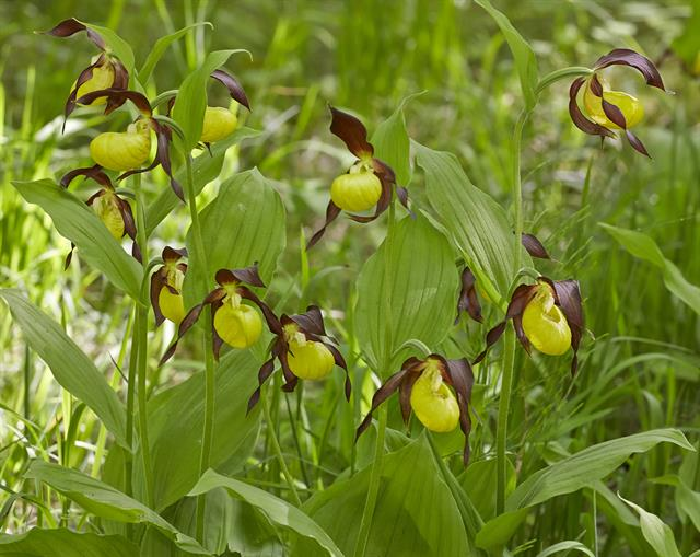 Marisko (Cypripedium calceolus) foto
