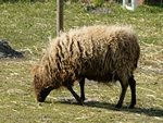 Ovis aries (Ouessant)