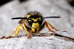 Germansk veps (Paravespula germanica)