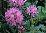 Rhododendron (English Roseum)