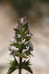 Stachys ocymastrum